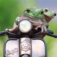 Tree Frogs Hopped Onto A Toy Vespa