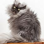 Colonel Meow - The Cat with World's Longest Fur